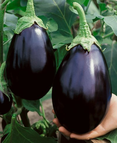 Black Beauty Eggplant Seeds - Solanum Melongena - 0.5 Grams - Approx 100 Gardening Seeds - Vegetable Garden Seed