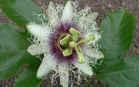 Buy Edible Passion Flower 5 Seeds – Passiflora edulis – FREE SHIPPING ON ADDITIONAL HIRTS SEEDS
