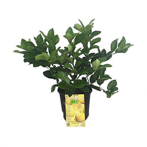 Cocktail-Tree-Two-Trees-in-1-Pot-Meyer-LemonKey-Lime-Fruiting-Size-8-Pot