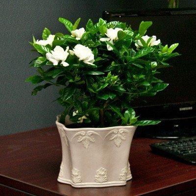 Gardenia in a Decorative Cache Pot – Live Plant – Ships Via 2-day Air!