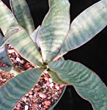 Sansevieria metallica - snake plant - 5 seeds