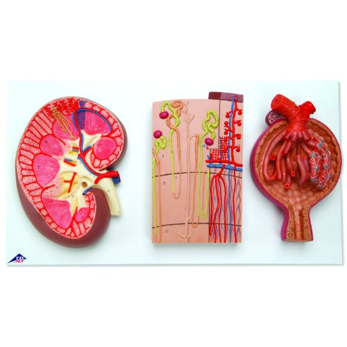 3B Scientific K11 Kidney Section, Nephrons, Blood Vessels and Renal Corpuscle Models, 11.4