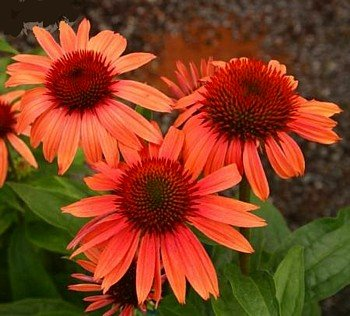 Sunset Coneflower -Echinacea- Sweetly Fragrant Flowers - Buy Sunset Coneflower -Echinacea- Sweetly Fragrant Flowers - Purchase Sunset Coneflower -Echinacea- Sweetly Fragrant Flowers (Perennials, Home & Garden,Categories,Patio Lawn & Garden,Plants & Planting,Outdoor Plants)