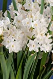 Narcissus Ziva Paperwhites, 10 bulbs - 17+cm