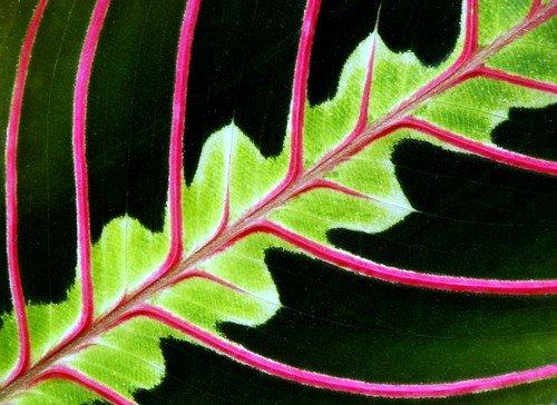 Red prayer plant maranta easy to grow house plant 4 pot for Prayer palm plant