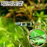(熱帯魚)クラウン・キリー(10匹) + オトシンクルス(3匹) 本州・四国限定[生体]