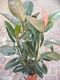 Indoor Plant -House or Office Plant -Ficus elastica - Rubber Plant 1.1m