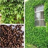 (Ivy Seeds V248) Hot Sale !200 Seeds Boston Ivy Seeds Tree Seeds Parthenocissus Tricuspidata Seeds
