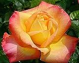 "Sub Zero Hybrid Tea Rose Plant - Peace, Pink & Yellow, Bush, Nice 12-18"" Tall Rose Plant"