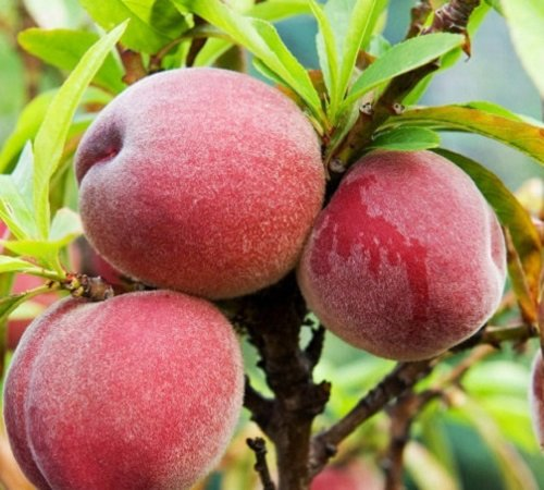 1x 5-6ft Large Peregrine Peach Fruit Tree - High Quality Trees - B/r