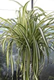 Indoor Plant -House or Office Plant -Chlorophytum - Hanging Spider Plant- Large Bushy Plant