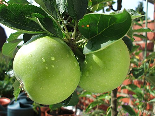 Granny Smith Apple Tree 4-5ft Ready To Fruit, Self-fertile, Green With Sharp Taste
