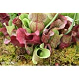 10 CARNIVOROUS SOUTHERN PURPLE PITCHER PLANT Venosa Burkii Flower Seeds