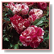 Scentimental Floribunda Rose