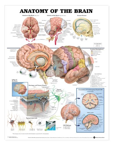 Anatomy of the Brain Chart 20 w x 26 h