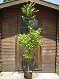 人気の!☆イロハモミジ☆一本立ち 樹高1.8m前後 ポット入 綺麗な樹形♪