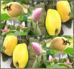 1oz (2,000+ Seeds) QUINCE FRUIT TREE SEEDS GORGEOUS PINK Blossoms - ZONE 4 HARDY ~ Cydonia oblonga - SYMBOL OF FERTILITY LOVE AND LIFE