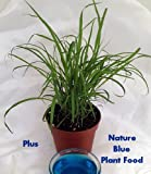 Lemon Grass Plant - Must Have Herb! - Cymbopogon - Grow Indoors or Out
