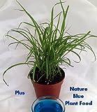 """Lemon Grass Plant - Cymbopogon - With Nature BlueTM Plant Food - 4"""" Pot"""