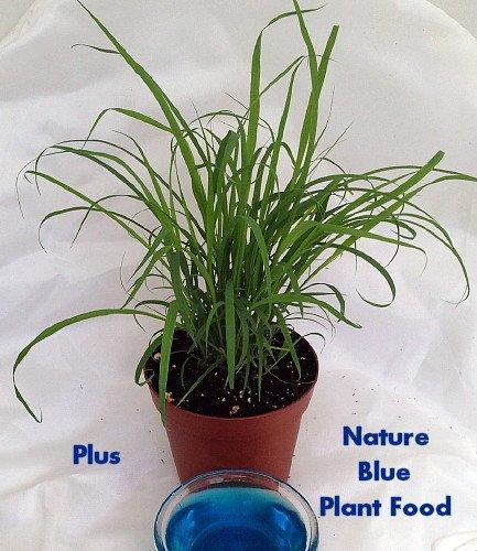 """Lemon Grass Plant - Must Have Herb! - Cymbopogon - 4"""" Pot"""