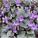 宿根すみれ:紫式部(ビオラ ラブラドリカ選抜種)2株セット