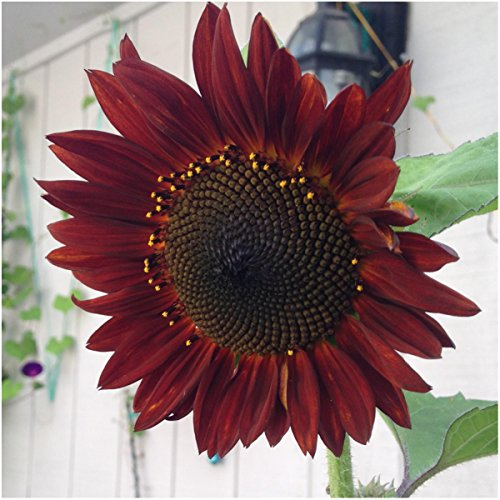 Bulk Package of 1,100 Seeds, Red Sun Sunflower (Helianthus annuus) Non-GMO Seeds by Seed Needs