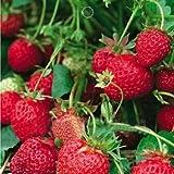Bheema 1 Bag 50 Seed Organic Strawberry Fragaria Ananassa Delicious Fruits