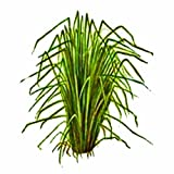 Vetiver Grass 6 live plant trial pack (Chrysopogon zizanioides)