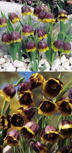Michaels Flower 10 Bulbs - Fritillaria - Deer Resistant - 5/6 cm Bulbs