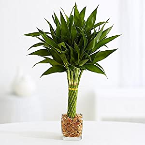 Elegant Twist Bamboo Plant in Glass Vase