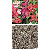 alkarty balsam seed 10 pices