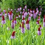 Wasserpflanzen Wolff - Primula vialii - Orchideenprimel,...