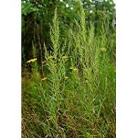 Hardy French Tarragon Plant - Artemisia dracunculus - Grow Indoors or Out