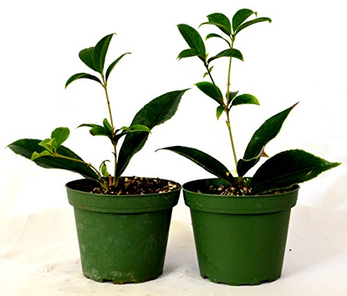 Sweet olive tree osmanthus houseplant 2 pack of 4 pot for Olive trees in pots winter care