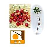 サクランボ:たかさご(高砂)接木苗4~5号ポット[収穫期が早い豊産品種][苗木]