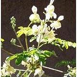 Herb Seeds - Horseradish Tree - 20 Seeds