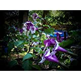 #1058 *GIANT FLOWERS*PURPLE ANGEL TRUMPETS*25 seeds*rare*