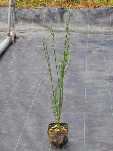 【夏に花が咲く木】エニシダ 0.3m