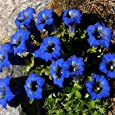 Outsidepride Stemless Gentian Seeds - 500 seeds