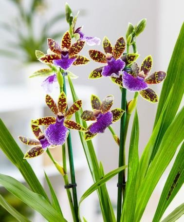 bakker-orchidea-zygopetalum-altezza-alla-consegna-30-cm-oe-12-cm-vaso