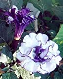 Datura, Thorn Apple, Angel's Trumpet, double blue flower, very nice smell!