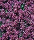 SeeKay Alyssum Royal Carpet seeds appx 4000 seeds