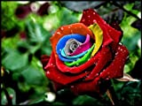 Mystic Rainbow Rose Bush Flower Seeds 10 Stratisfied Seeds