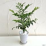 梛(ナギ)の木4号陶器鉢植え[縁結び・夫婦円満・魔よけの木 人気のスピリチュアルプランツ]