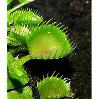 'Cup Trap' Venus Fly Trap Plant - Dionaea - Carnivorous - 3