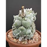 Astrophytum myriostigma KIKO WHITE rare cactus cacti japan hybrid seeds 15 SEEDS