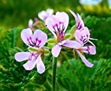 Amazon / Hirt's Gardens: Old Fashion Rose Scented Leaf Geranium - Repels Mosquitos - Inside/Out - 4 Pot
