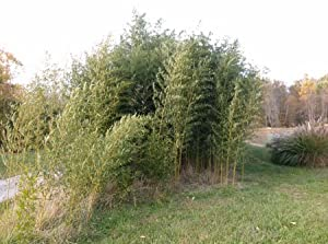 Live YELLOW GROVE BAMBOO Potted Plant - P. Aureosulcata - Cold Hardy