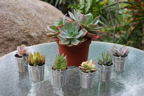 80 SUCCULENT Wedding Favor Kits with Pail