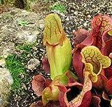 """9GreenBox - Sarracenia Carnivorous Pitcher Plant- 3"""" Pot"""